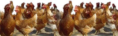 Topfmodel Hühner