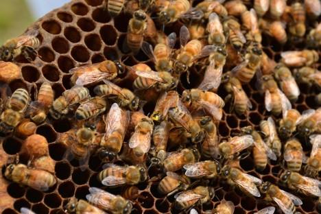 Imkerei: Bienenwabe mit Bienen